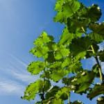 Vorgestellt: DINplus-Zertifikat Agrarholz nachhaltig angebaut